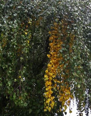 die Birke wird herbstlich-gelb