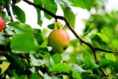 Apfel am Zweig