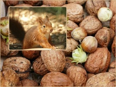 Sammelt Nüsse für die Eichörnchen