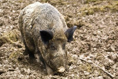 Wildschwein-Attacke
