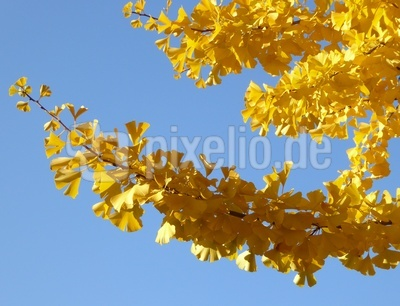 Gingko-Zweige im goldenen Oktober