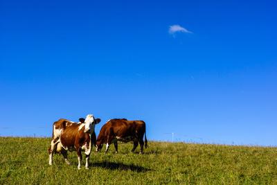 Kühe auf herbstlicher Weide