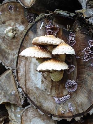 Pilze am abgesägten Baumstamm