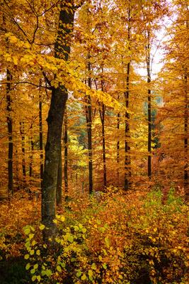 Buchenwald mit Herbstlaub_hoch