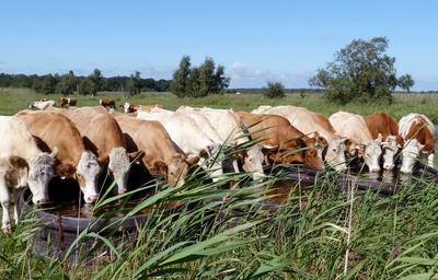 dressierte Kühe beim Trinken