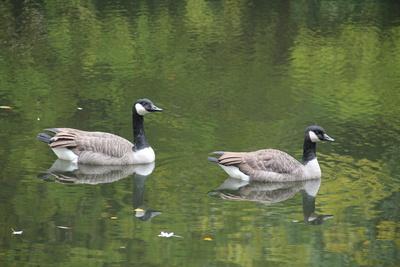 Kanadagans-Paar auf dem See