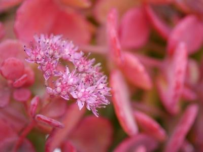 Rosa Miniblüten