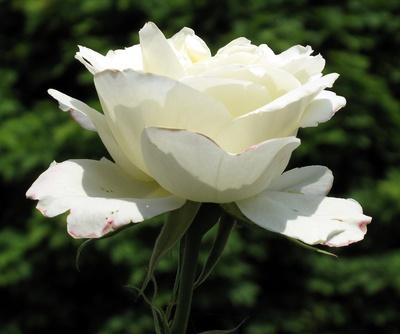 Die letzte weiße Rose