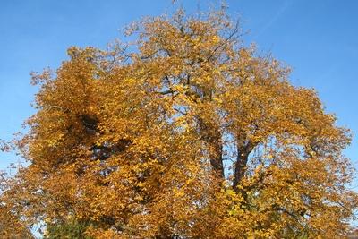 Kastanie im goldenem Oktober