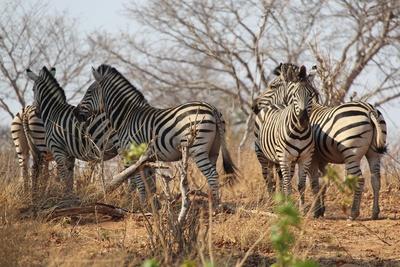 Botswana - Zebras
