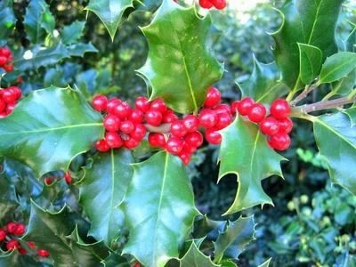 Rote Beeren der Stechpalmen (Ilex)