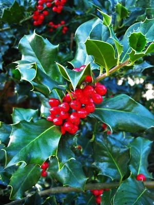 Ilex mit roten Beeren