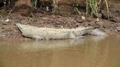 Auch Krokodile machen einen Verdauungsschlaf