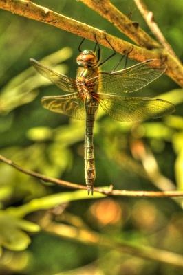 hängende Libelle