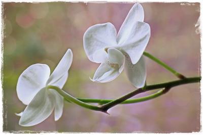 kleinblütige Orchidee