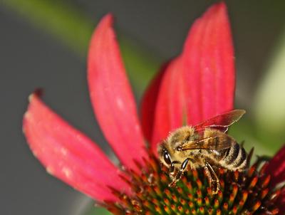 Biene auf Blüte III