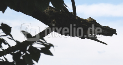 Krokodilbaum