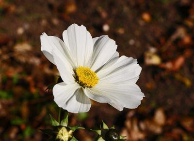 Herbstblüte 01