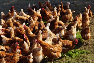 Hühnerhof 3