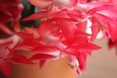 hauchzarte Blütenpracht / Weihnachtskaktus
