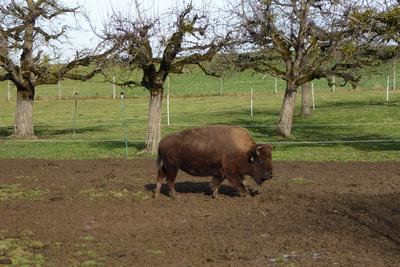 Büffel-Haltung im Berner Mittelland