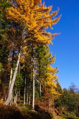 Lärchengold im Herbst