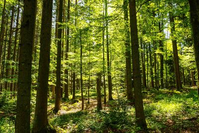 Laubwald im Gegenlicht