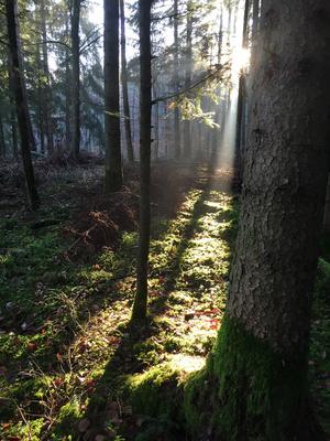 Morgenstrahlen im Wald