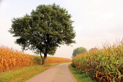 Wanderweg zwischen Maisfeldern