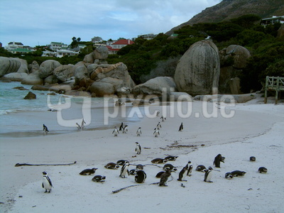 Pinguine bei Kapstadt
