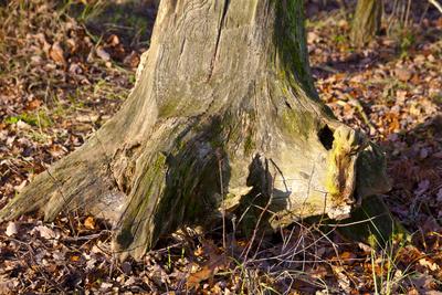 Ein einst mächtiger Baum