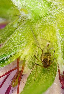 Blattlauskollonie aus vier Blattläusen