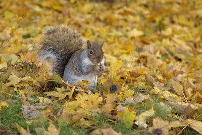 Squirrel , Grauhörnchen