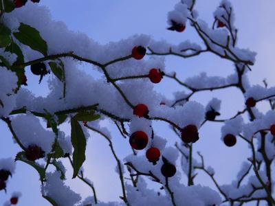 Beeren unter Schnee bedeckt