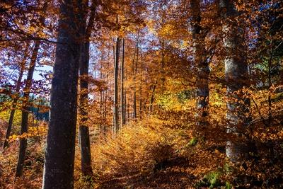 Buchenwald im Herbst 01