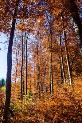 Buchenwald im Herbst 03