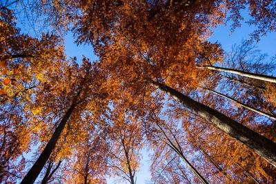 Buchenwald im Herbst 04