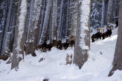 Steinböcke im Schnee