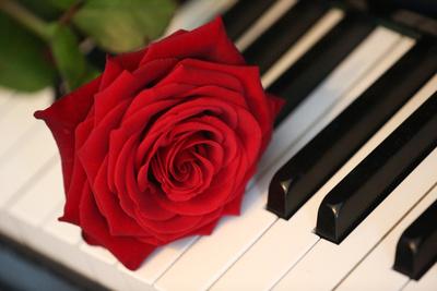 Rose auf der Tasten