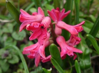 Rote Hyazinthe an einem trüben Tag