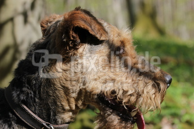 Airedale Terrier im Wald 1