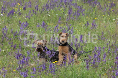 Airedale Terrier in Blumenwiese