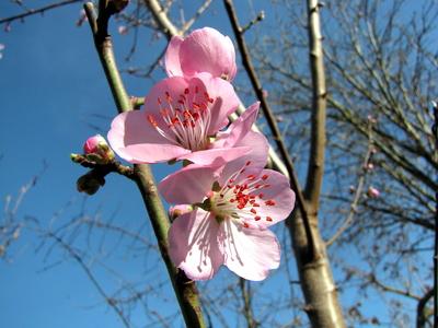 Mandelblüte - Anfang Februar 2016