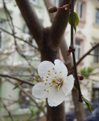 Einzelne Blüte am kahlen Baum
