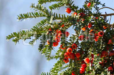 Taxus baccata 01