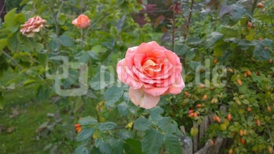 Rose im Grün