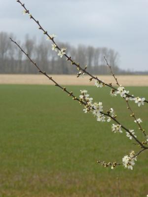 Blütenzweige trotz nächtlicher Minusgrade
