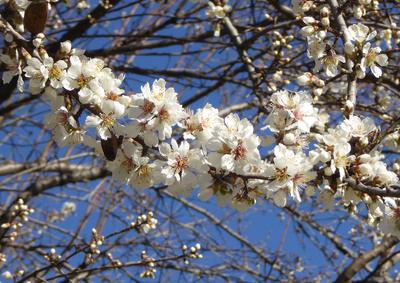 Wilde Kirsche -- die ersten Blüten