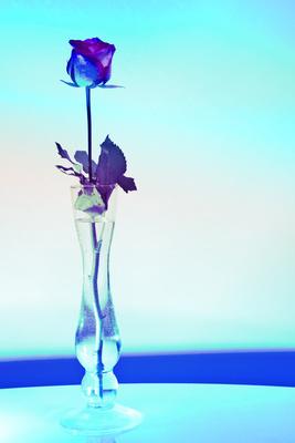 kostenloses foto bunte rose. Black Bedroom Furniture Sets. Home Design Ideas