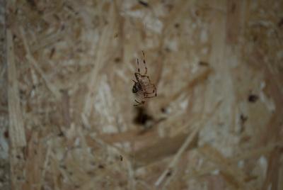Spinne - Spider